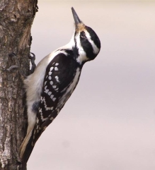 Transposable element evolution in woodpeckers (Picoides villosus shown here)