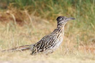 Roadrunner in northwest Texas