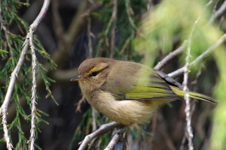 Brown Woodland Warbler