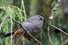 Abyssinian Catbird